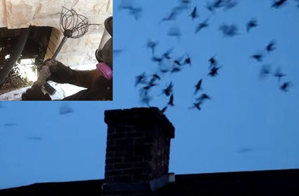 how to get birds out of chimney-2